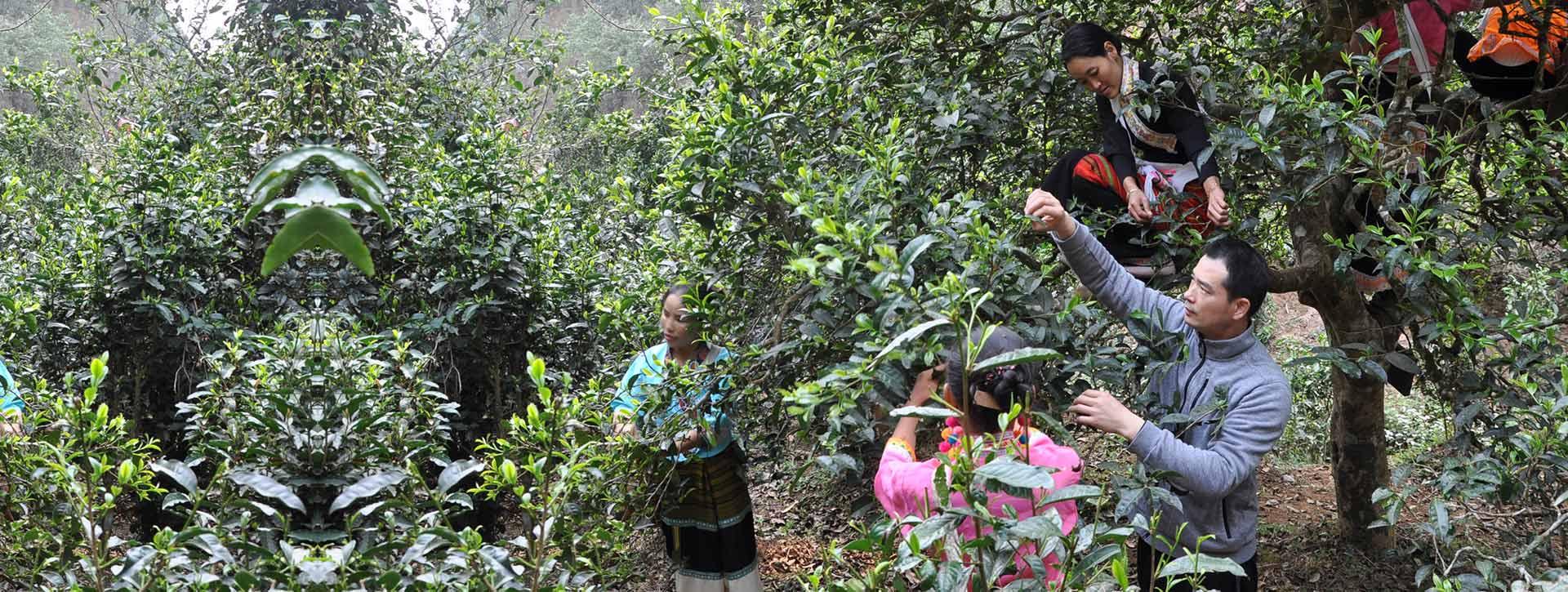 景迈山原生态种植,原材料保障