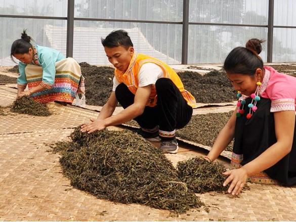 广东紫竹为庆芳号普洱茶加工